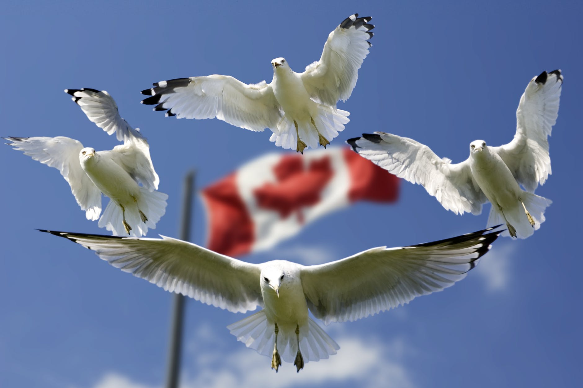 Seagulls surrounding the Canadian flag. By moving to Ottawa, you get to experience all of the benefits of living in this country.